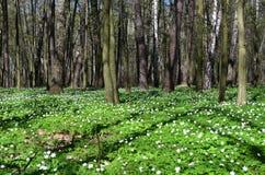 Πράσινο δάσος άνοιξη στις ακτίνες ήλιων Στοκ εικόνα με δικαίωμα ελεύθερης χρήσης