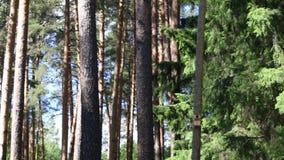 Πράσινο δάσος με τα ψηλά πεύκα στην ημέρα στο καλοκαίρι φιλμ μικρού μήκους