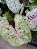 Πράσινο άσπρο κόκκινο caladium στοκ εικόνα