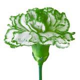 Πράσινο άσπρο λουλούδι γαρίφαλων που απομονώνεται σε ένα άσπρο υπόβαθρο Κινηματογράφηση σε πρώτο πλάνο Στοκ φωτογραφίες με δικαίωμα ελεύθερης χρήσης