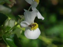 Πράσινο άσπρο begonia φύλλων με την πράσινη μέλισσα Στοκ Φωτογραφίες