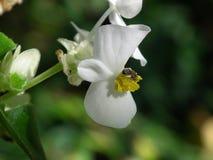 Πράσινο άσπρο begonia φύλλων Στοκ εικόνα με δικαίωμα ελεύθερης χρήσης