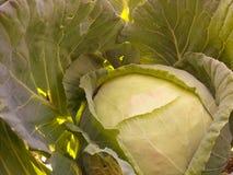 Πράσινο λάχανο οσπρίων Στοκ φωτογραφίες με δικαίωμα ελεύθερης χρήσης