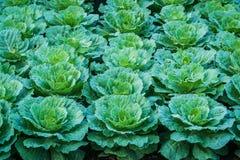 Πράσινο λάχανο στο φυτικό κήπο Στοκ Φωτογραφίες