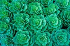 Πράσινο λάχανο στο φυτικό κήπο Στοκ Εικόνα