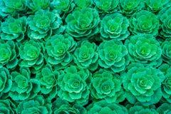 Πράσινο λάχανο στο φυτικό κήπο Στοκ φωτογραφίες με δικαίωμα ελεύθερης χρήσης