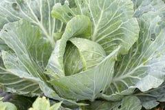Πράσινο λάχανο στοκ φωτογραφία