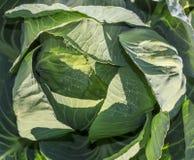 Πράσινο λάχανο στοκ εικόνες