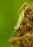 πράσινο έντομο γρύλων Στοκ Εικόνες
