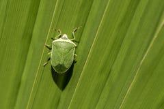 Πράσινο έντομο στο πράσινο μεγάλο φύλλο στοκ φωτογραφίες