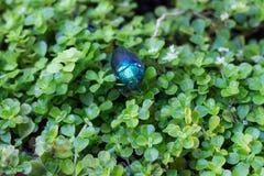 Πράσινο έντομο Stauffer Στοκ φωτογραφία με δικαίωμα ελεύθερης χρήσης