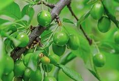 πράσινο δέντρο δαμάσκηνων Στοκ εικόνες με δικαίωμα ελεύθερης χρήσης