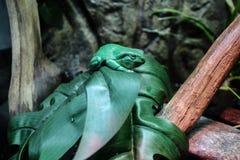 πράσινο δέντρο βατράχων Στοκ Φωτογραφίες