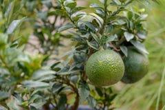 πράσινο δέντρο λεμονιών Στοκ εικόνα με δικαίωμα ελεύθερης χρήσης