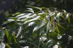 πράσινο δέντρο δενδρυλλίων φύλλων κλάδων Στοκ Εικόνα