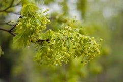 πράσινο δέντρο κλάδων Στοκ Φωτογραφία