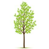 Πράσινο δέντρο με τα φύλλα στο άσπρο υπόβαθρο Στοκ Εικόνες