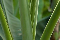 Πράσινο δέντρο μπανανών σύστασης κλάδων Στοκ εικόνα με δικαίωμα ελεύθερης χρήσης