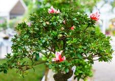 Πράσινο δέντρο μπονσάι στον κήπο Στοκ Φωτογραφίες