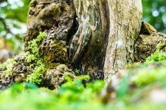 Πράσινο δέντρο μπονσάι στον κήπο Στοκ Εικόνες