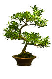 Πράσινο δέντρο μπονσάι Στοκ Εικόνες