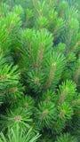 πράσινο δέντρο πεύκων Στοκ εικόνες με δικαίωμα ελεύθερης χρήσης