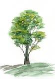 Πράσινο δέντρο σε μια άσπρη ανασκόπηση watercolor Στοκ Φωτογραφίες