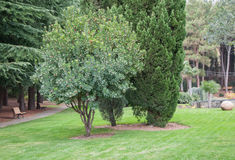 Πράσινο δέντρο στο χορτοτάπητα σε ένα εξωτικό πάρκο Στοκ Εικόνα
