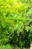 Πράσινο δέντρο σφενδάμνου στη βροχή Στοκ Φωτογραφία