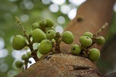πράσινο δέντρο σύκων Στοκ Φωτογραφίες