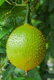 Πράσινο δέντρο φρούτων Gac, γλυκός τροπικός Στοκ φωτογραφία με δικαίωμα ελεύθερης χρήσης