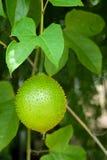 Πράσινο δέντρο φρούτων Gac, γλυκός τροπικός Στοκ εικόνα με δικαίωμα ελεύθερης χρήσης