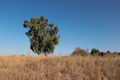 πράσινο δέντρο φυλλώματο&sigm Στοκ Εικόνες