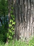 πράσινο δέντρο φύλλων φλο&iota Στοκ φωτογραφίες με δικαίωμα ελεύθερης χρήσης