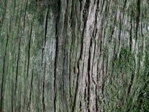 Πράσινο δέντρο φλοιών Στοκ Φωτογραφία