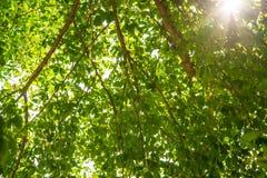 Πράσινο δέντρο. Στοκ Φωτογραφίες