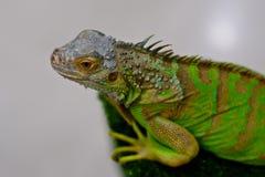 πράσινο δέντρο iguana κλάδων Στοκ Εικόνα