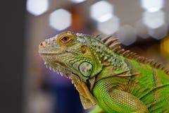 πράσινο δέντρο iguana κλάδων Στοκ φωτογραφίες με δικαίωμα ελεύθερης χρήσης