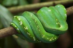 Πράσινο δέντρο python & x28 Μορέλια viridis& x29  Στοκ Εικόνες