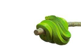 Πράσινο δέντρο Python που κουλουριάζεται γύρω από έναν κλάδο στο άσπρο υπόβαθρο, CL Στοκ Εικόνες