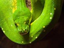 Πράσινο δέντρο python που κρεμά στον κλάδο Στοκ εικόνα με δικαίωμα ελεύθερης χρήσης