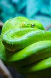 Πράσινο δέντρο python σε έναν κλάδο Στοκ Φωτογραφίες