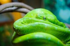 Πράσινο δέντρο python σε έναν κλάδο Στοκ Φωτογραφία