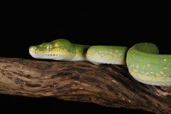 Πράσινο δέντρο Python - συλλήφθείη στούντιο εικόνα Στοκ Φωτογραφία