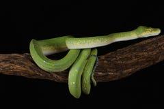 Πράσινο δέντρο Python - συλλήφθείη στούντιο εικόνα Στοκ Εικόνες