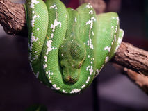 Πράσινο δέντρο python Στοκ φωτογραφίες με δικαίωμα ελεύθερης χρήσης