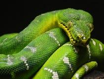 Πράσινο δέντρο Python Στοκ φωτογραφία με δικαίωμα ελεύθερης χρήσης
