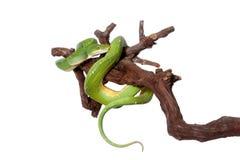 Πράσινο δέντρο python, chondros που απομονώνονται στο λευκό Στοκ Εικόνες