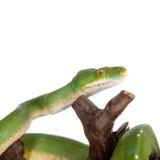 Πράσινο δέντρο python, chondros που απομονώνονται στο λευκό Στοκ Φωτογραφία