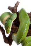 Πράσινο δέντρο python, chondros που απομονώνονται στο λευκό Στοκ εικόνα με δικαίωμα ελεύθερης χρήσης